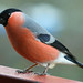 Eurasian Bullfinch - Photo (c) Didier, some rights reserved (CC BY-SA)