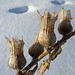 Seedpods in winter