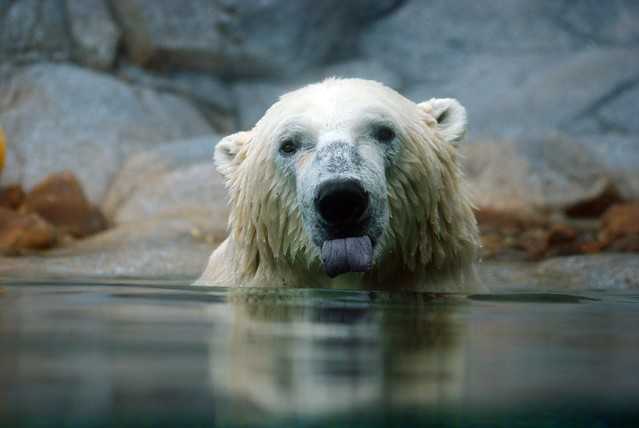 polar bear ,sea world , gold coast