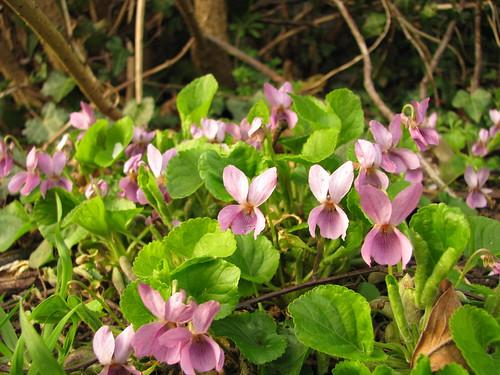 Viola odorata var. subcarnea