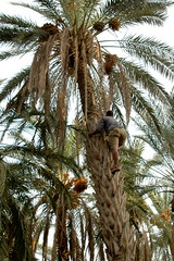 borassus flabellifer(0.0), produce(0.0), food(0.0), date palm(1.0), arecales(1.0), coconut(1.0), branch(1.0), tree(1.0), fruit(1.0), elaeis(1.0),