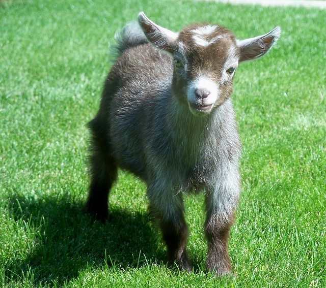 Pygmy Goat Kid. www.TheBigWRanch.com | Flickr - Photo Sharing!