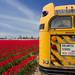 Old School Bus at the tulip fields