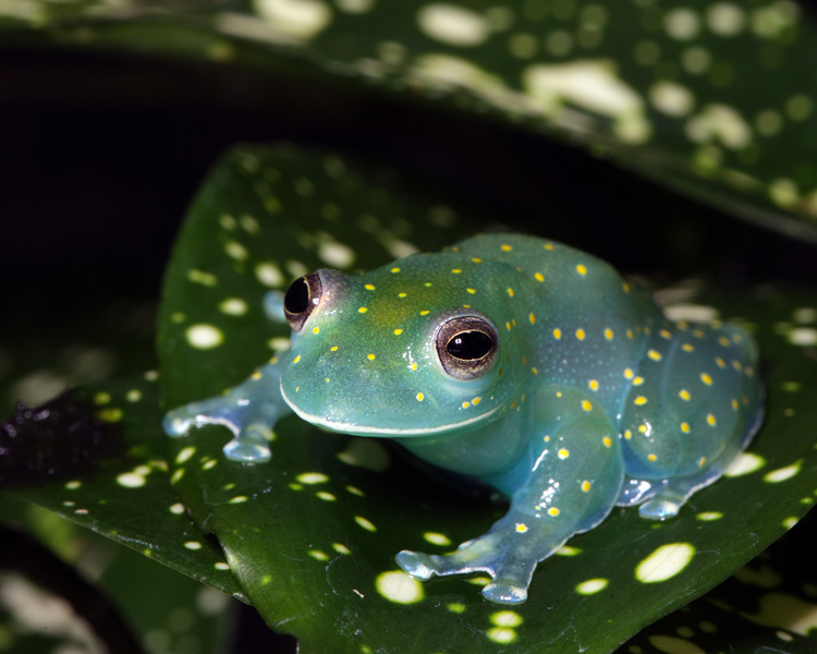 glass frog looks like a glowing constellation in the