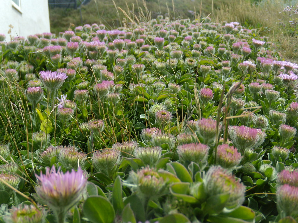 Livingstone Daisies Along with Thrift, a feature of the climb up from Seaford. Seaford to Eastbourne