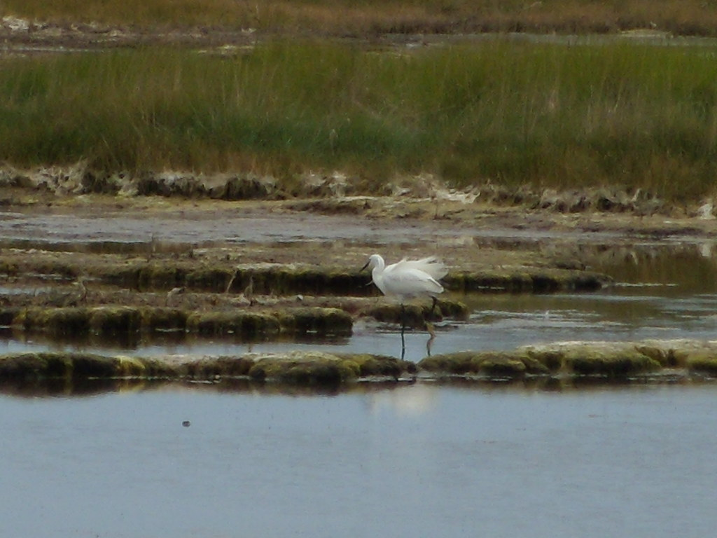 Little Egret 1 Seaford to Eastbourne Cuckmere Haven