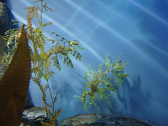 DSC01677-Leafy Sea Dragon