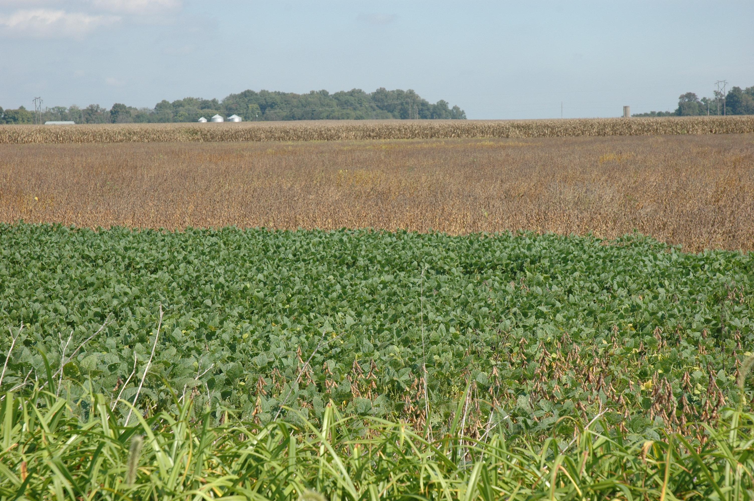 Indiana knox county ragsdale - Dsc_0898 Bean Field