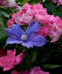 Clematis growing through a rose bush