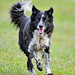 Running collie