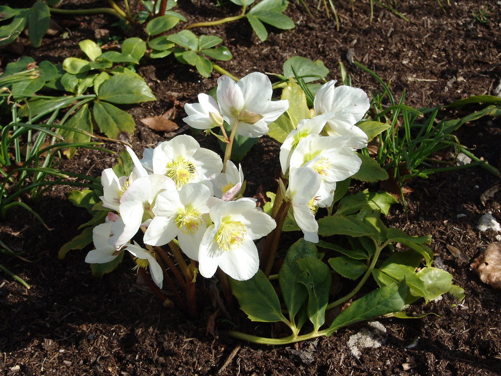 Christmas Rose 'White christmas' {Helleborus Niger}