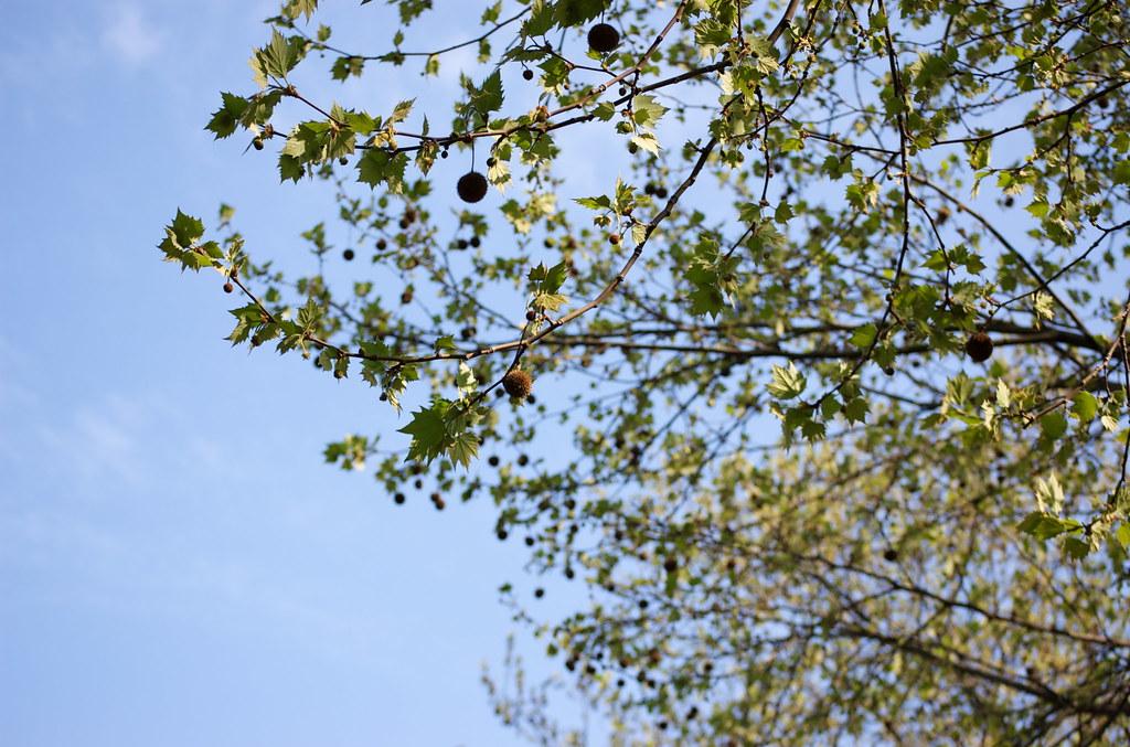 空と枝 09/04/12 DSC_7749
