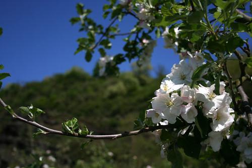 Apfelblüte by schneidbrett-shop