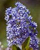 Ceanothus - Photo (c) Jim Frazee, some rights reserved (CC BY-NC-ND)