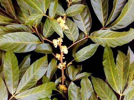 Resultado de imagen de Muira Puama plantas