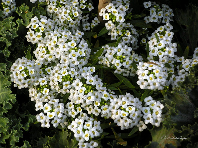 Candytuft  (Iberis) - White ..... changed ID : Sweet Alyssum or Sweet Alison (Lobularia maritima)
