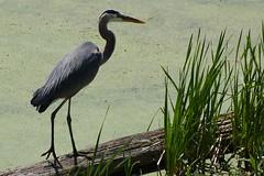 wetland(0.0), pelecaniformes(0.0), animal(1.0), green(1.0), fauna(1.0), little blue heron(1.0), heron(1.0), beak(1.0), bird(1.0), wildlife(1.0),