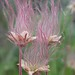 Prairie Smoke - Photo (c) Matt Lavin, some rights reserved (CC BY-SA)