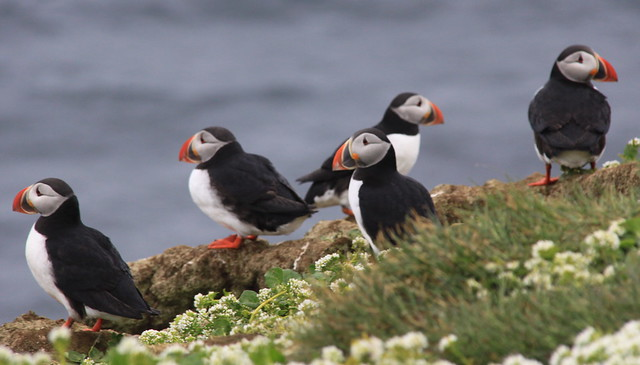 Group of Puffins, Grimsey Iceland - 無料写真検索fotoq