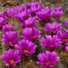annual plant, flower, hedgehog cactus, wildflower, flora, caryophyllales, petal,