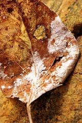 Bronzed Leaf