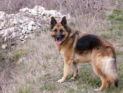 west siberian laika(0.0), caucasian shepherd dog(0.0), eurasier(0.0), pet(0.0), norwegian elkhound(0.0), greenland dog(0.0), wolfdog(0.0), saarloos wolfdog(0.0), native american indian dog(0.0), dog breed(1.0), german shepherd dog(1.0), animal(1.0), dog(1.0), czechoslovakian wolfdog(1.0), old german shepherd dog(1.0), east siberian laika(1.0), tervuren(1.0), east-european shepherd(1.0), shiloh shepherd dog(1.0), carnivoran(1.0),