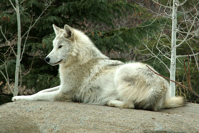 WOLVES: Subspecies 3337598527_3b5c444335_z