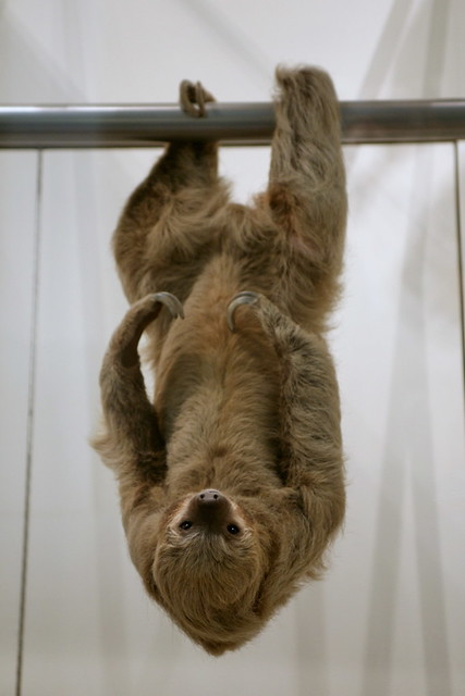 Two Toed Sloth Choloepus Didactylus Flickr Photo