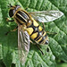 Small photo of Syrphidae
