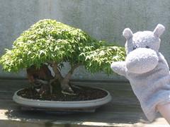 Hippos Little Tree