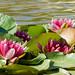 Nenúfares / Water lillies