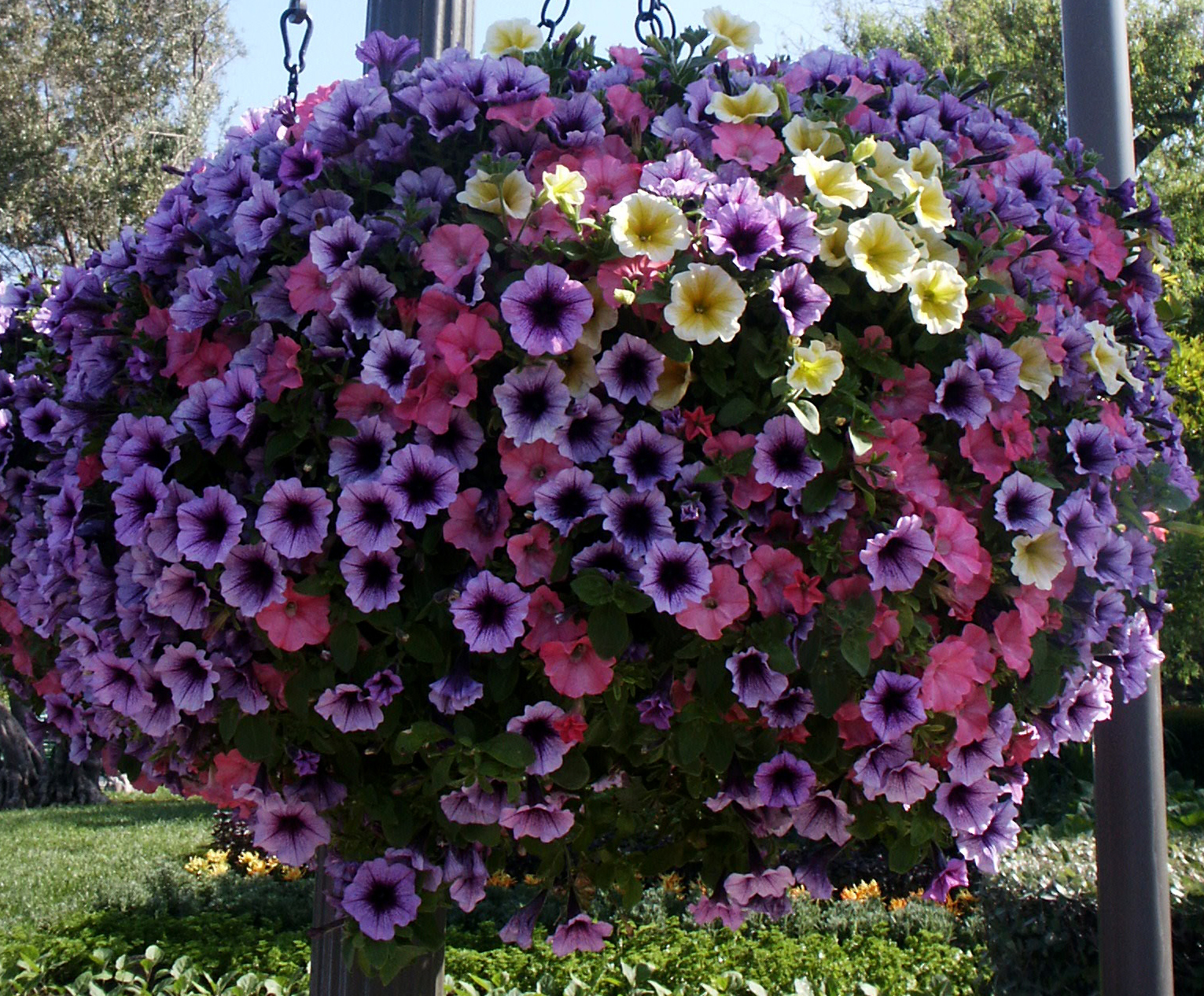 Petunia hanging flower baskets flickr photo sharing for How to hang flowers