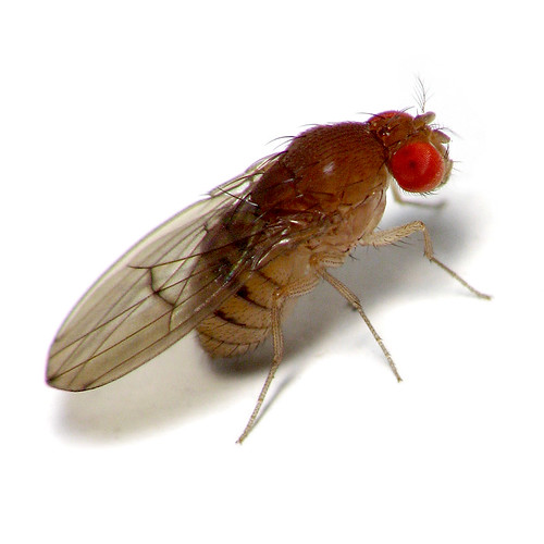 fruit fly intro Fruit flies, begone what's your tried-and-true way to get rid of fruit flies reader intelligence request what methods have you used to get rid of fruit flies.