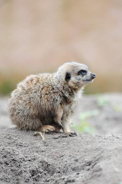Baby Meerkat (Suricata suricatta)
