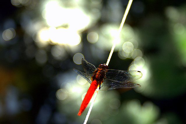 Dragonfly on a  Bokeh Wednesday