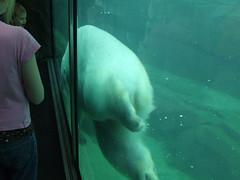 Polar Bear, Memphis Zoo