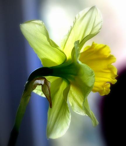 The yellow Light Catcher
