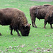 European Bison - Photo (c) Malik_Braun, some rights reserved (CC BY-NC-SA)