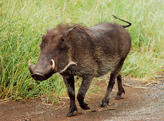 animal, wild boar, pig, fauna, pig-like mammal, warthog, pasture, wildlife,