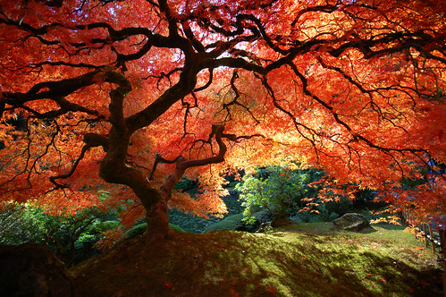 Beautiful Japanese Maple by Krissy Aldous.com