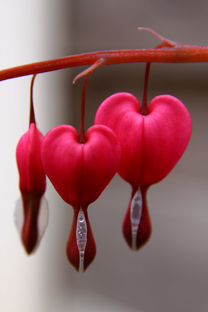 Bleeding Heart from Flickr via Wylio