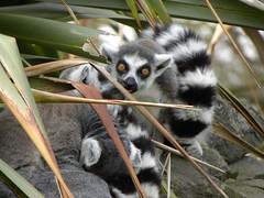 animal, primate, fauna, lemur, wildlife,