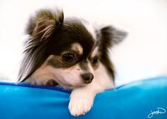 dog breed, chihuahua, animal, puppy, dog, pet, mammal, papillon,