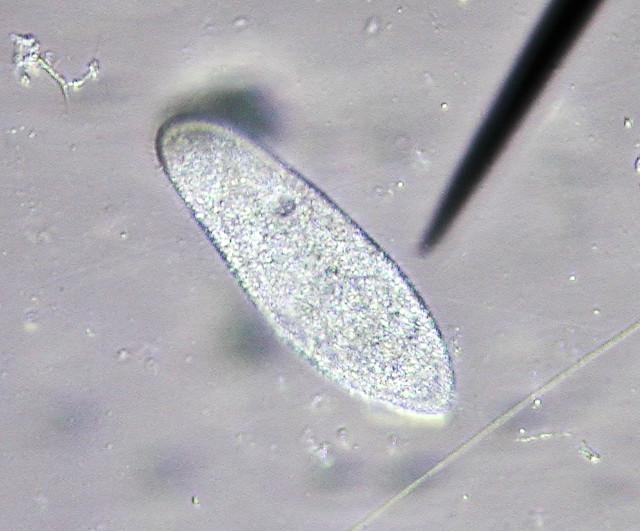 Paramecium Caudatum Under A Microscope Paramecium microscope ...