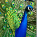 Indian Peafowl - Photo (c) Marcia Salviato, some rights reserved (CC BY-NC-SA)