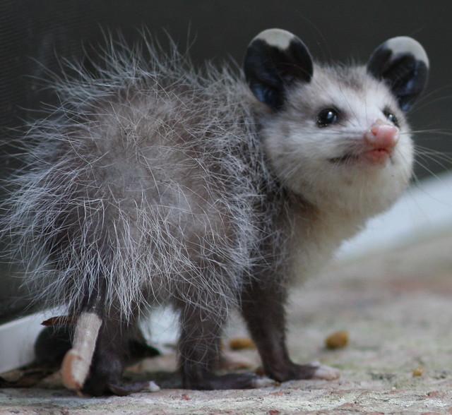 Cute Baby Possum | Flickr - Photo Sharing!