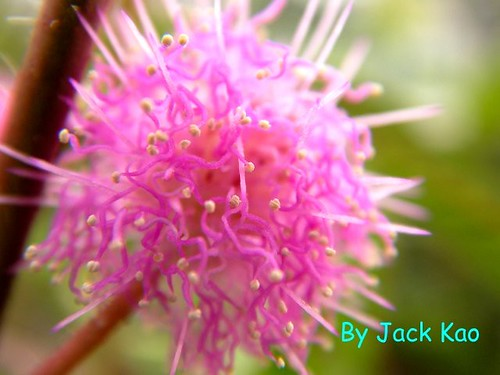 The flower of Mimosa pudica