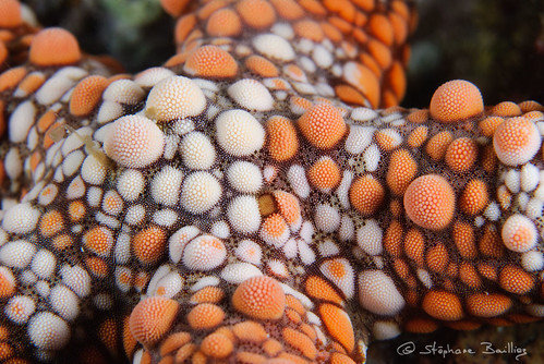 Warty sea star