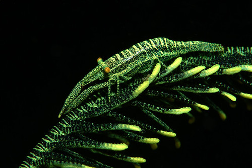 Crinoid Shrimp,