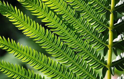 light shadow sunlight fern green leaves bright backlit parallel fronds backlitleaves